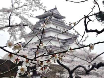 2014年4月21日.鶴ヶ城桜908.JPG