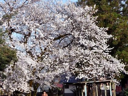 神社的桜1.JPG