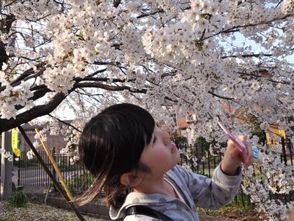2015.4.12.桜0.JPG